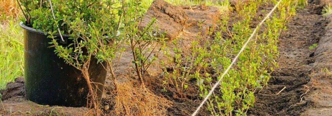 hoeveel-ilex-hagen-per-meter-planten