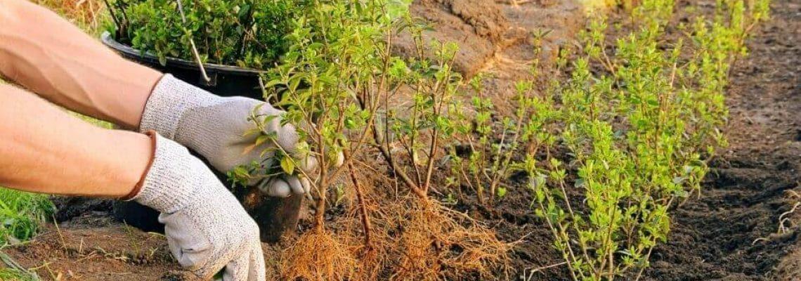 ilex-crenata-planten-oysh8guqwtxuz9o5yetz2oa1i284wxkrmlu50al1gg